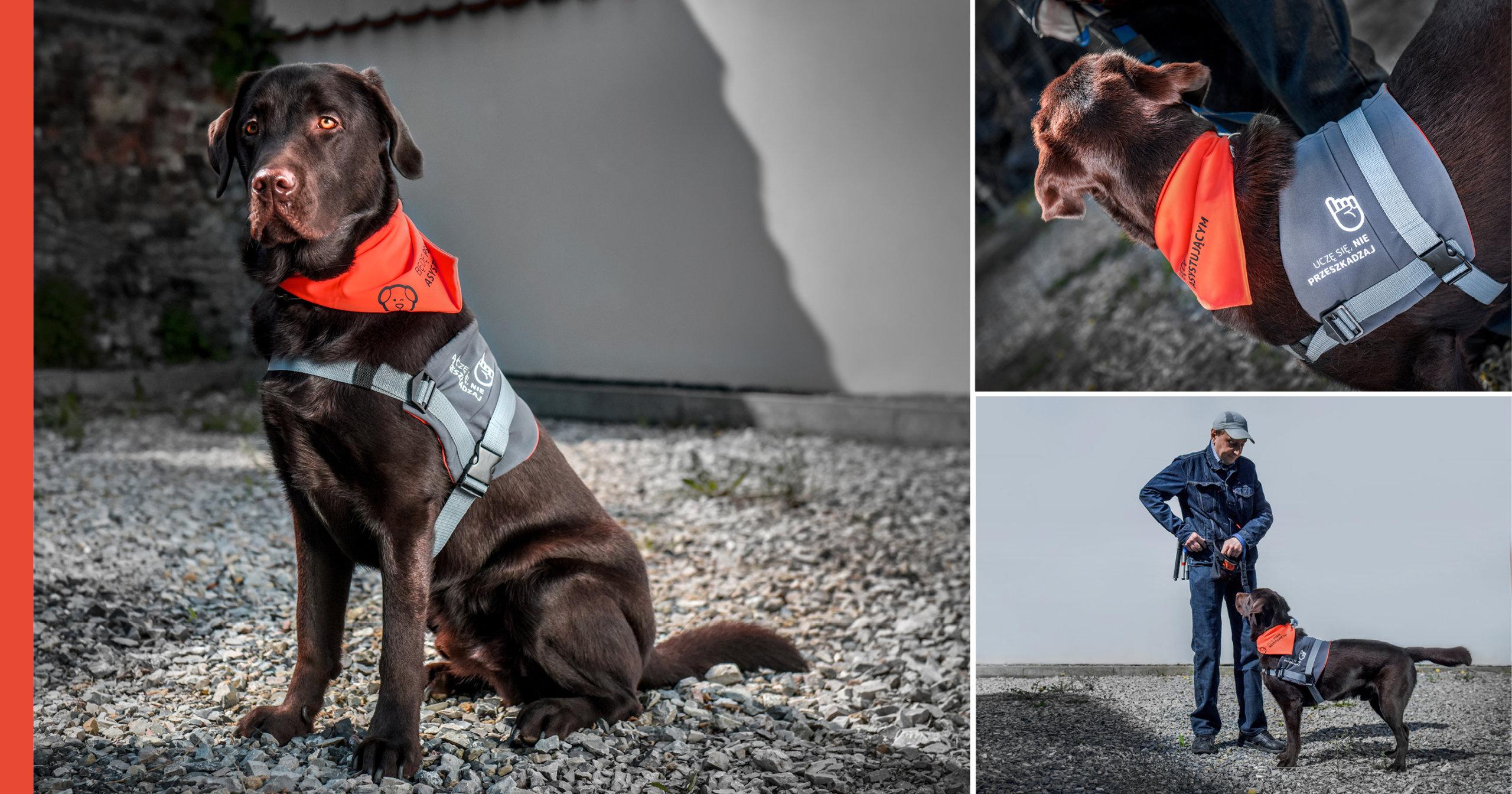 """Na ilustracji znajdują się trzy połączone zdjęcia. Na każdym z nich znajduje się półtoraroczny czekoladowy labrador. Ma na sobie tekstylną uprząż. Na uprzęży znajduje się piktogram z wyciągniętym palcem oraz napis """"uczę się, nie przeszkadzaj"""". Labrador ma również ubraną pomarańczową chustkę, na której znajduje się piktogram psa oraz napis """"będę psem asystującym"""". Na jednym ze zdjęć labradorowi towarzyszy mężczyzna."""